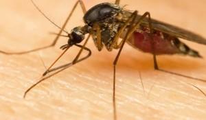 mosquito-komar3